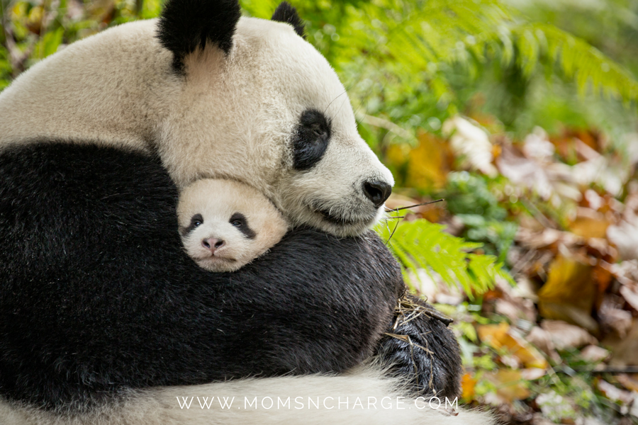 Born in China save pandas