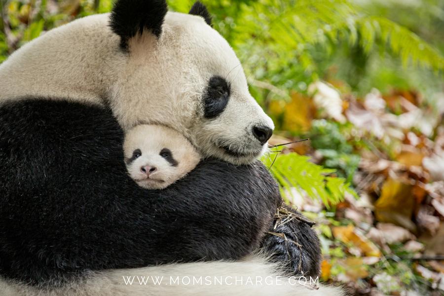 Born in China save pandas